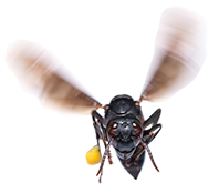 Bee-head-on-flying-towards-viewer