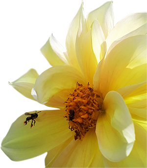 Hive-Haven-Bee-on-Dahlia