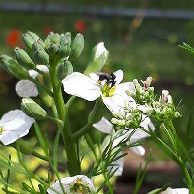Native-bee-white-flower