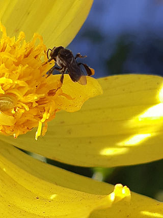 Native-bee-yellow-petals
