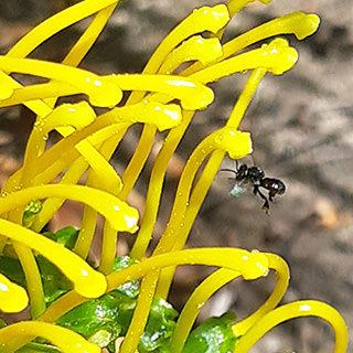 bee-flying-yellow-grevillea